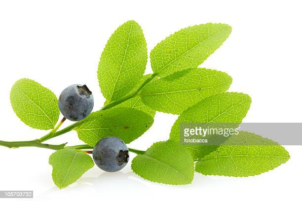Ramo com huckleberries, isolado