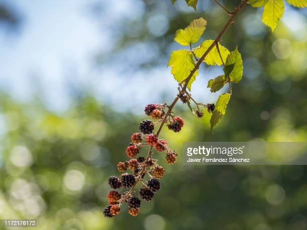 a branch with the fruit of the blackberry, with its fruits both unripe red and ripe black. rubus ulmifolius. - branch stock pictures, royalty-free photos & images