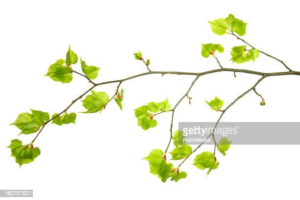A branch with young green leaves on a white background