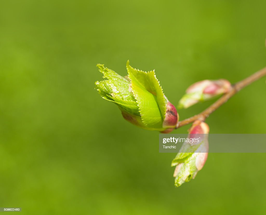 branch with young leaves on a green background : Stock Photo