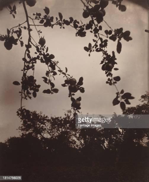 Branche de pommier, 1922/1923. Artist Eugene Atget.