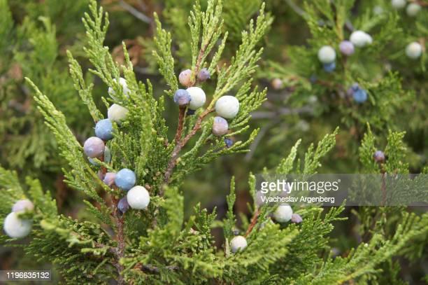 branches and fruits of endemic pine trees, crimea - argenberg fotografías e imágenes de stock