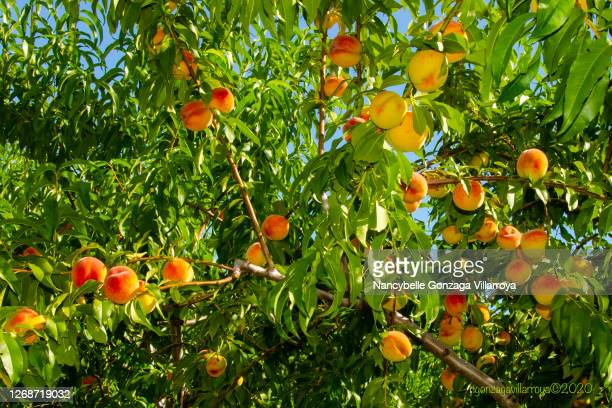 branches full of ripe peaches ready for picking in an orchard. - ピーチカラー ストックフォトと画像