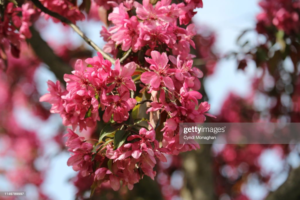 Branches Heavy With Crab Apple Blossoms High Res Stock Photo