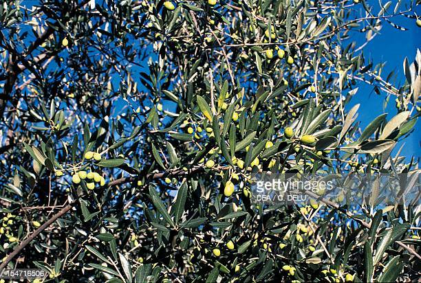 Branches laden with fruit Olive , Oleaceae.