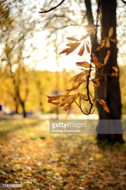 branches of a chestnut tree with golden and yellow colored autumn leaves - kristina strasunske stock photos and pictures