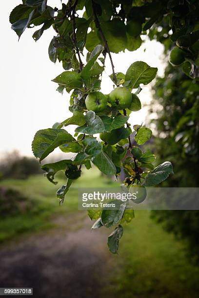branches of an apple tree - unripe stock pictures, royalty-free photos & images