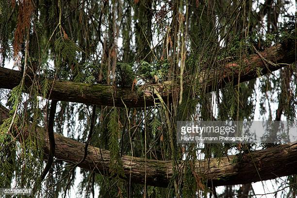 Branches of Cypress tree