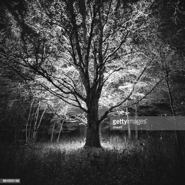 branches of light - elm tree stock pictures, royalty-free photos & images