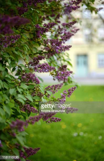 30 Top Lilacs In A Window Pictures, Photos, & Images - Getty Images