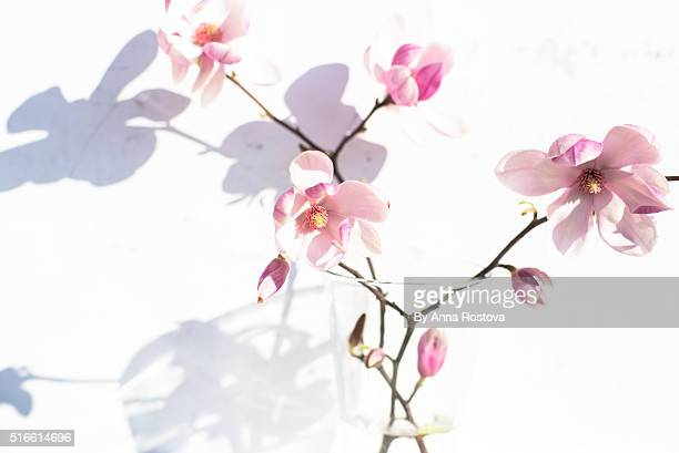 Branches of magnolia tree in blossom on white background