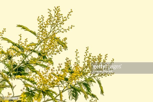 branches of mimosa blossoming - vicente méndez fotografías e imágenes de stock