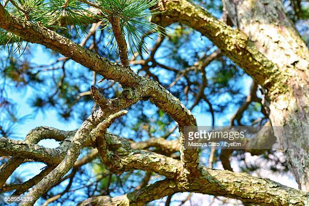 branches of pine tree - maebashi city stock photos and pictures