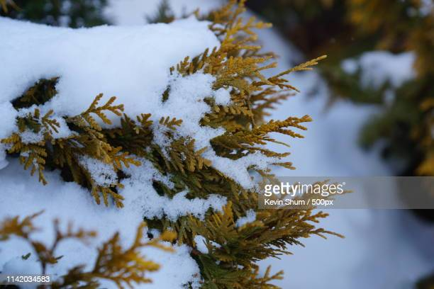 branches of pine tree with snow - kevin shum stock pictures, royalty-free photos & images