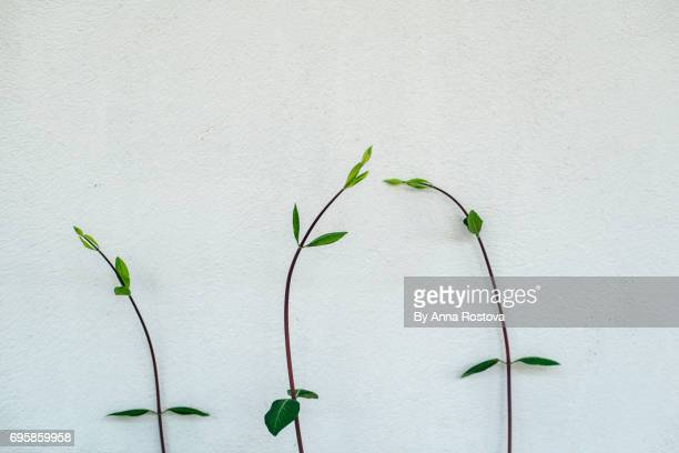 Branches of plant with green leaves against white wall
