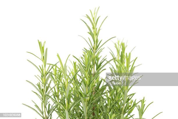 branches of rosemary isolated on a white background - ramo parte della pianta foto e immagini stock