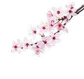 Branches of Sakura isolated on white background.