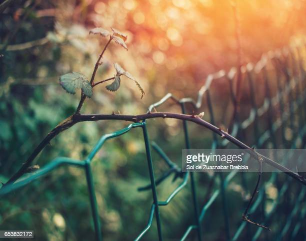 Branches of thorns over a green wire fence illuminated by the warm sunlight