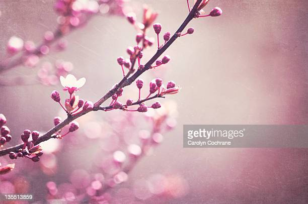branches with buds in spring - bud stock pictures, royalty-free photos & images