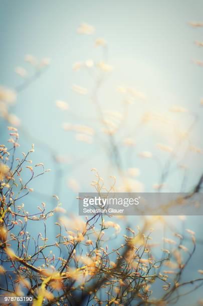 branches with leaf buds against blue sky - ast pflanzenbestandteil stock-fotos und bilder