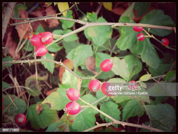 branches with rosehips - dog rose stock photos and pictures