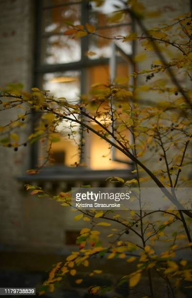 branches with yellow leaves and small black berries by an open window from a room with light on - トロンハイム ストックフォトと画像