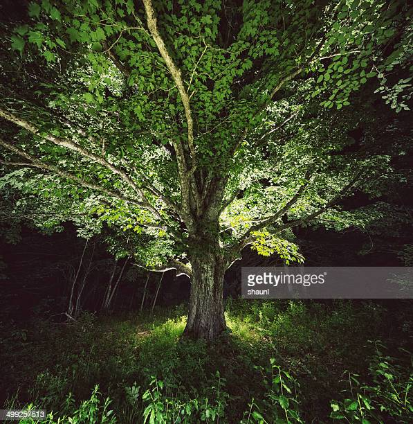branching into illumination - elm tree stock pictures, royalty-free photos & images