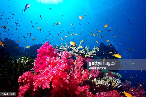 A branching pink Carnation Coral swarming with colorful reef fish.