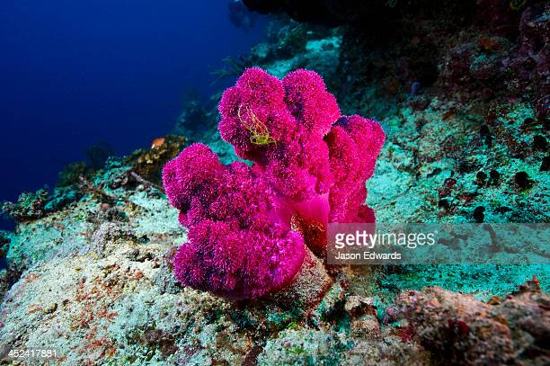 Vuna Reef, Taveuni Island, Somosomo Strait, Pacific Ocean, Fiji Islands.