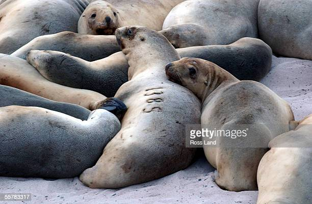 A branded female Hookers Sea Lion on Enderby Island in the subantarctic Auckland Islands group situated 476 kilometres from the southern tip of New...