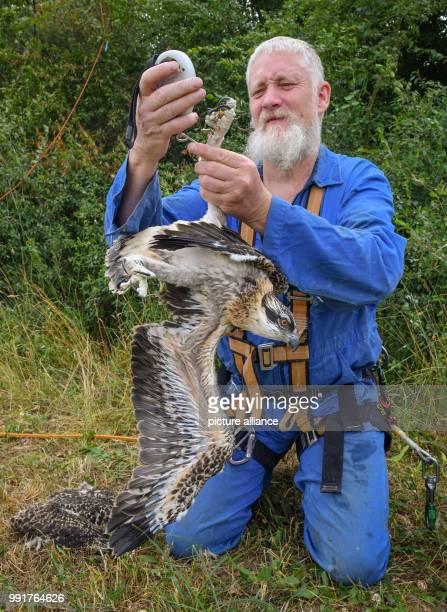 Brandenburg, Klosterwalde: Paul Sömmer, Leiter der Naturschutzstation Woblitz, hat nördlich von Templin in der Uckermark drei junge Fischadler aus...