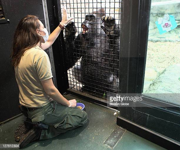 Brandi Baitchman does training exercises with Kit a silverback gorilla at the Franklin Park Zoo in Dorchester on Tuesday August 23 2011