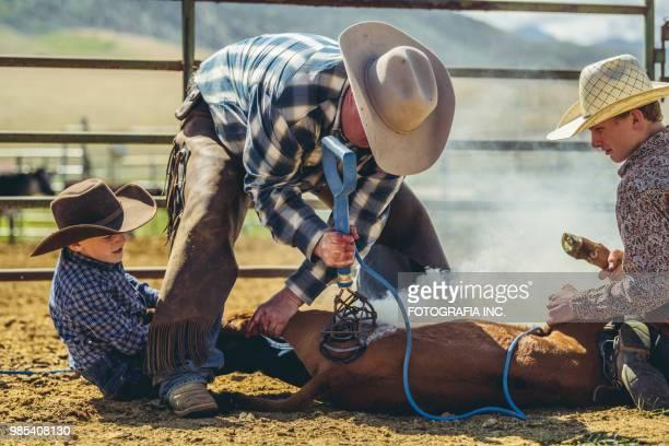 branding cattle in utah - livestock branding stock photos and pictures