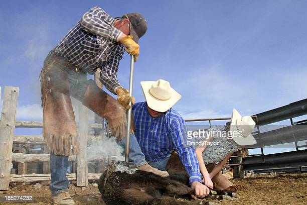Branding Cattle on a Ranch