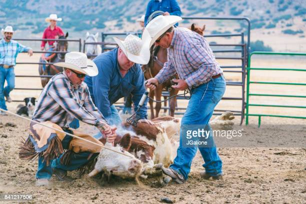 branding cattle - livestock branding stock photos and pictures