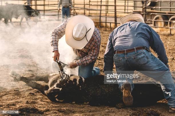 branding the livestock - livestock branding stock photos and pictures