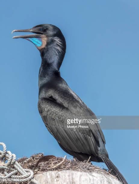 Brandt's Cormorant Portrait