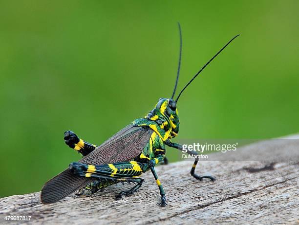 brasileiríssimo - 昆虫 ストックフォトと画像