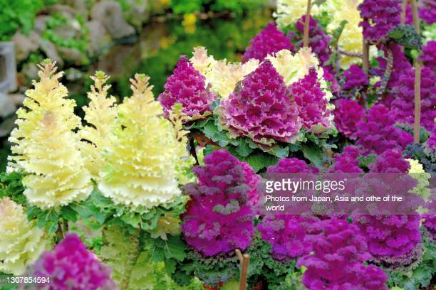brassica oleracea var. acephala / ornamental cabbage - ornamental plant stock pictures, royalty-free photos & images
