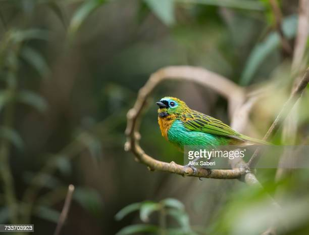 a brassy-breasted tanager, tangara desmaresti, perches on a branch in the jungle. - alex saberi stock-fotos und bilder
