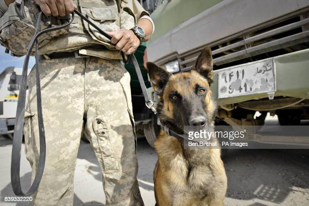 Braum the Belgian Malinois Bomb Detection Dog with his handler Adel Briones in a vehicle checkpoint area on Kandahar Airfield Kandahar Province...