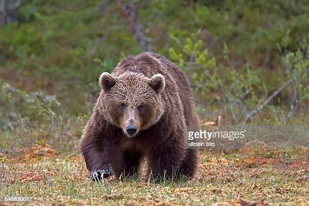 Braunbaer | Ursus arctos weibliches Tier auf Nahrungssuche Finnland