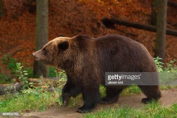 Braunbär captive Niedersachsen Deutschland