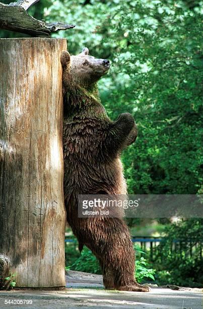Braunbär kratzt sich den Rücken an einem Baumstamm im Berliner Zoo
