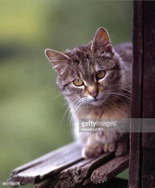 Braune Hauskatze sitzt auf einer Holzbrstung und sieht hervor
