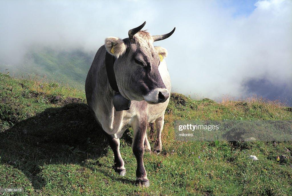 Braunvieh : Stock-Foto