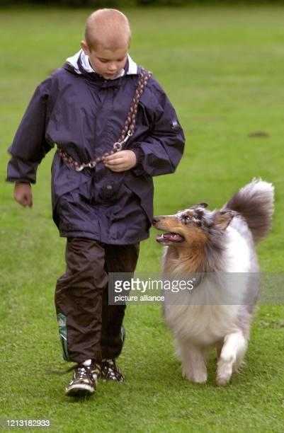 """Brav """"bei Fuß"""" läuft Collie Witney am 19.7.2000 auf einem Hundeplatz in Dortmund bei einer Übung neben dem zehnjährigen Patrick. Für einen..."""