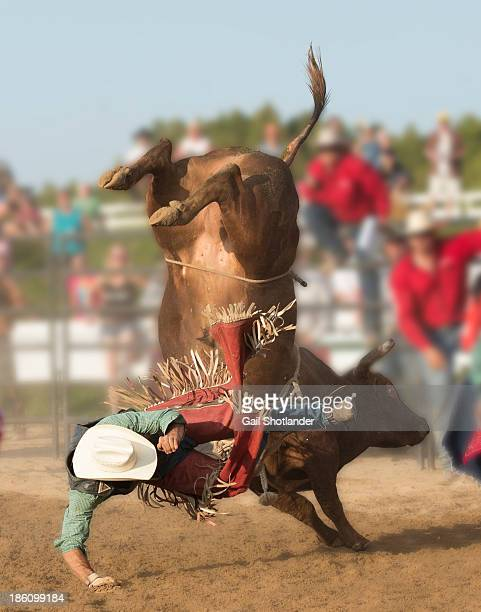 Brave cowboy is being bucked off a bull he is riding. The bull is extending his back feet high in the air as the cowboy is approaching the ground in...