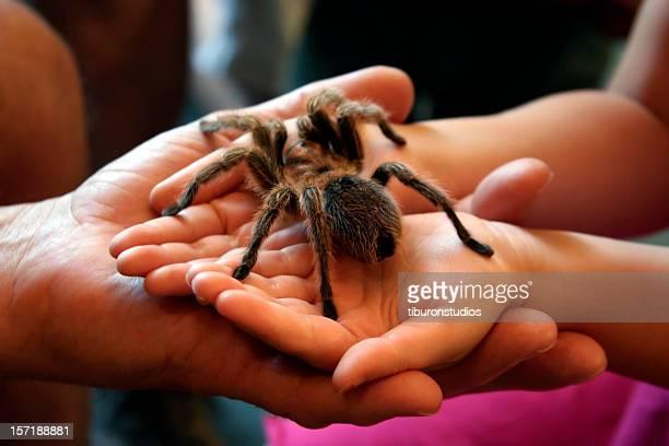 Courage: Immense Poilu araignée dans les mains de l'enfant