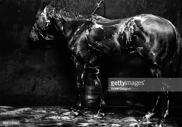 Brazen Beau from the Chris Waller stable waits to be washed down after a trackwork session at Flemington Racecourse on March 10 2015 in Melbourne...
